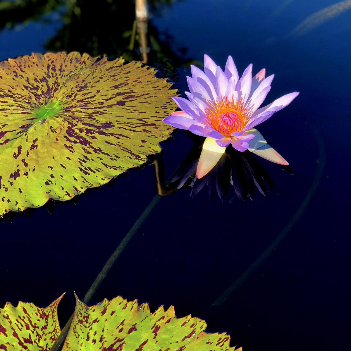 Longwood Gardens Part I - Water Lilies 1