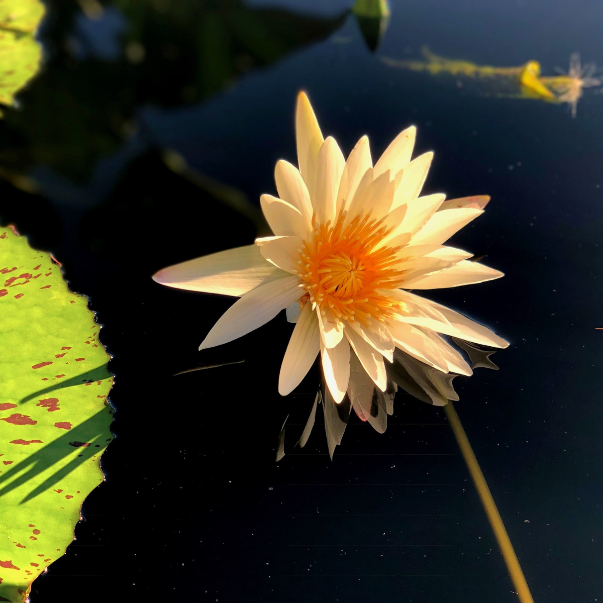 Longwood Gardens Part I - Water Lilies 10