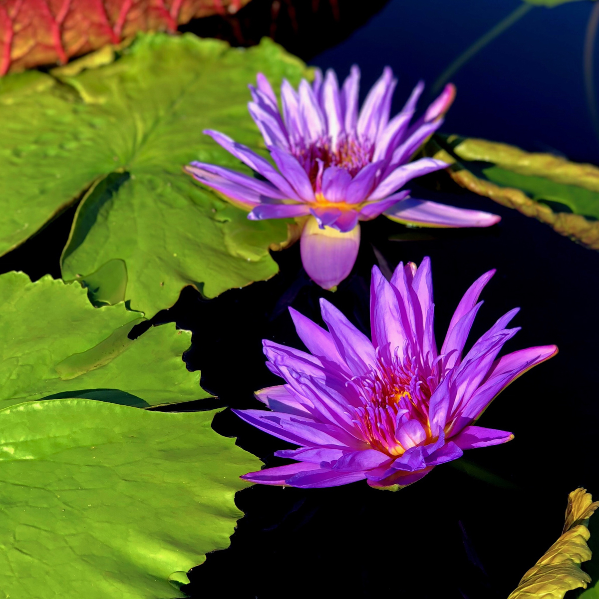 Longwood Gardens Part I - Water Lilies 13