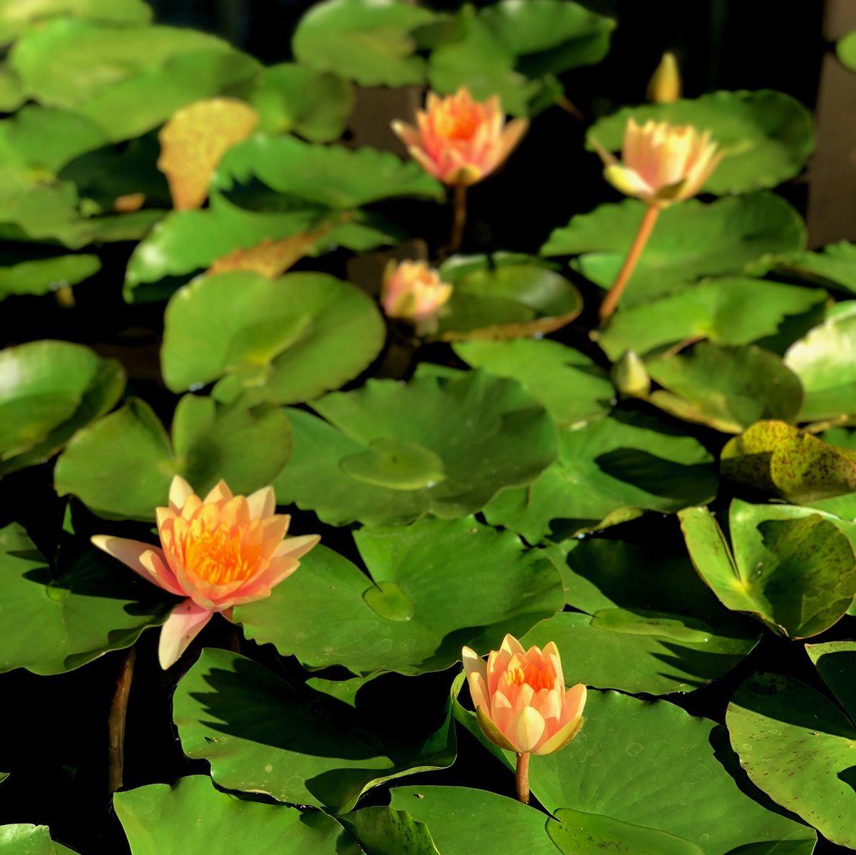 Longwood Gardens Part I - Water Lilies 15