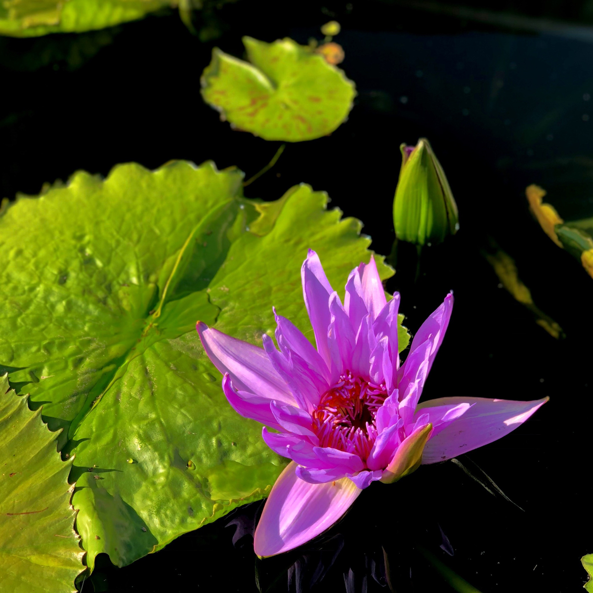 Longwood Gardens Part I - Water Lilies 16