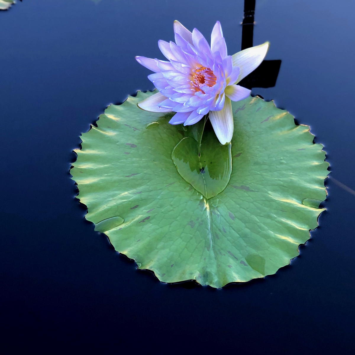 Longwood Gardens Part I - Water Lilies 2