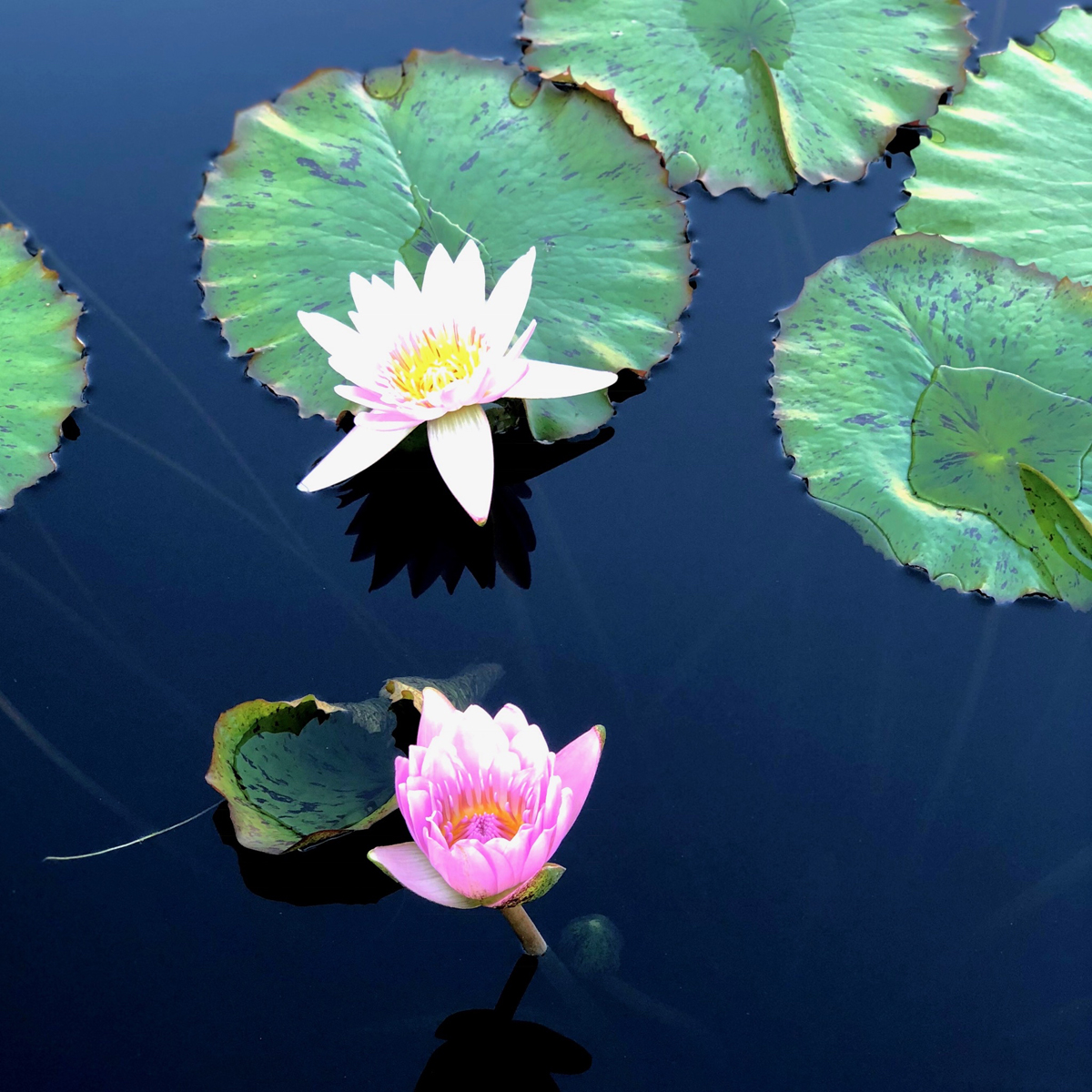 Longwood Gardens Part I - Water Lilies 3
