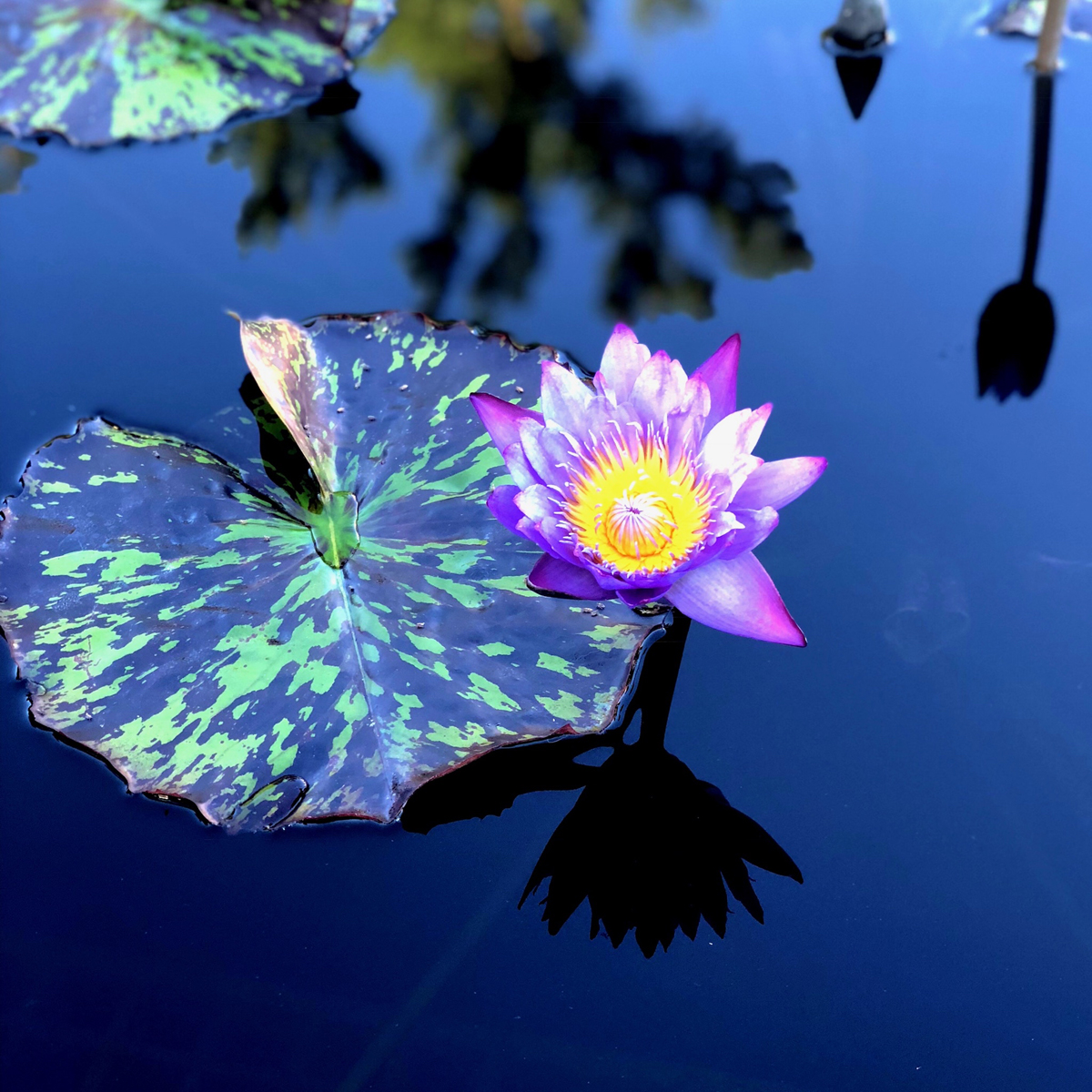 Longwood Gardens Part I - Water Lilies 4