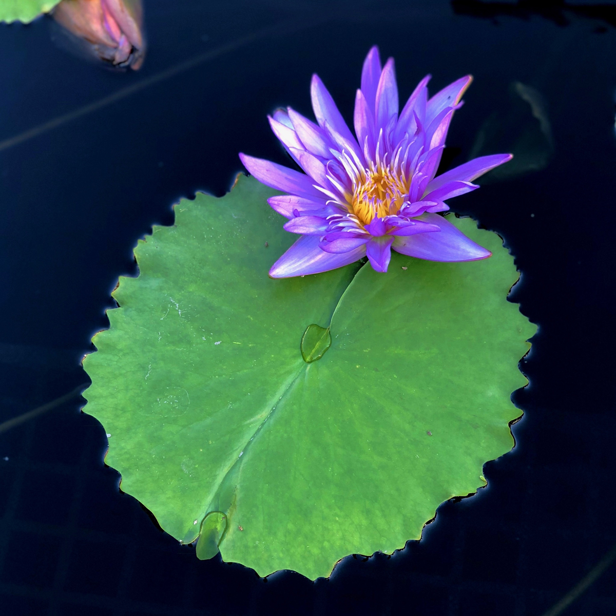 Longwood Gardens Part I - Water Lilies 8