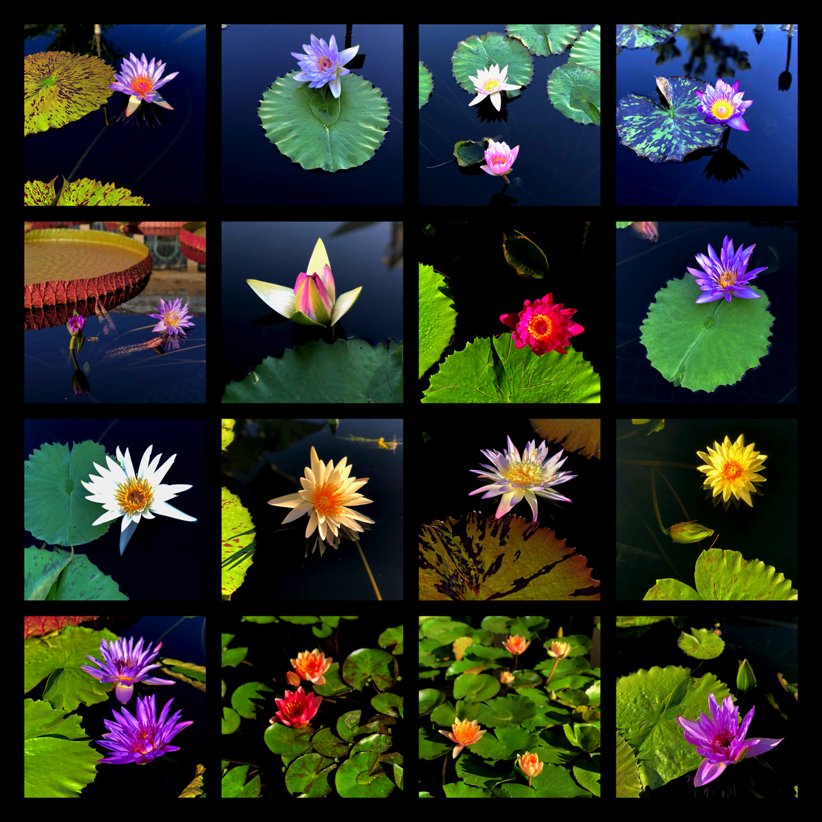 Longwood Gardens Part I - Water Lilies Findings